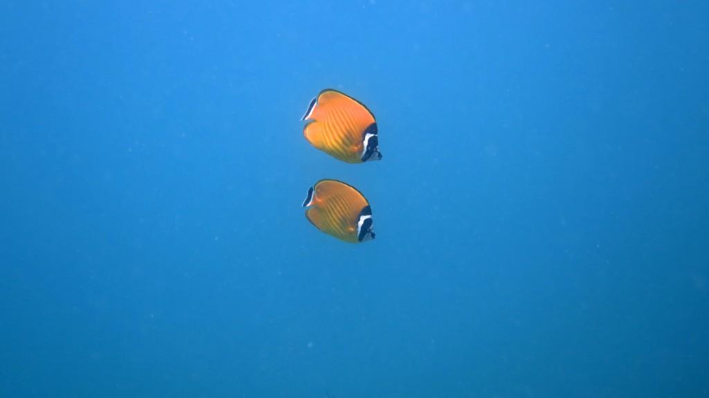 Koh Tao, Plongée sous-marine, Poissons-papillons
